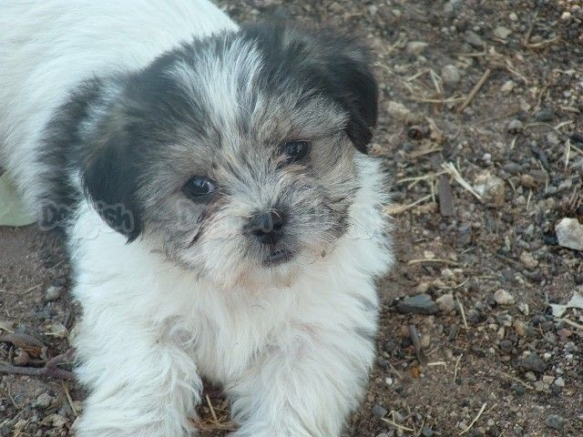 Shih Tzu X Maltese X Long Haired Jack Russell Pup For Sale In Ashford New South Wales Jack Russell Animals Beautiful Jack Russell For Sale