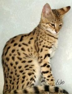 Pin By Nothingbutspice On Animals Kittens Cutest Serval Cats Kittens