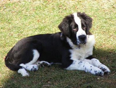 Saint Bernewfie Saint Bernard X Newfoundland Mixed Breed Dogs