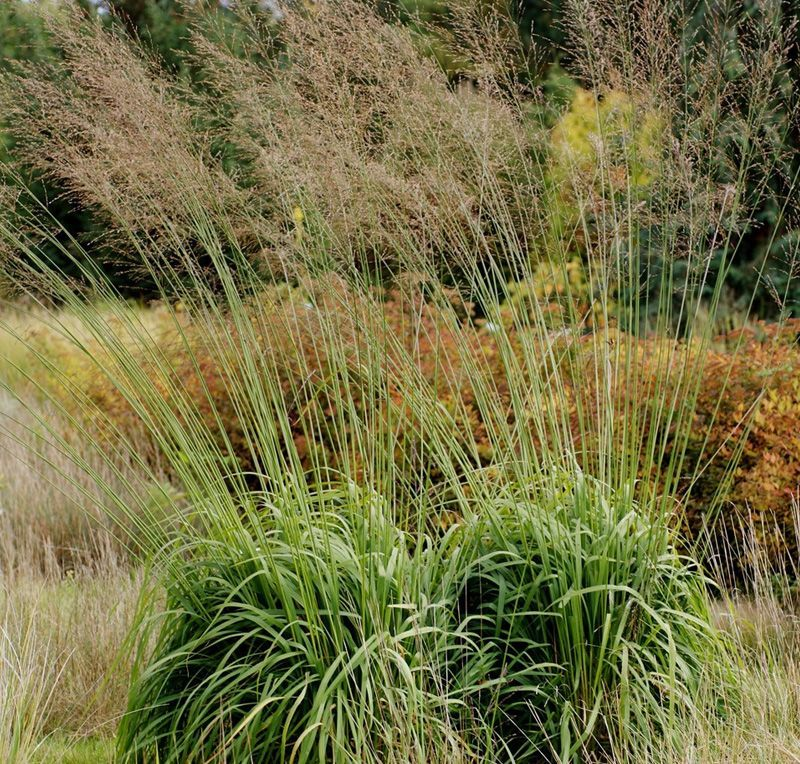 Molinia transparent google search grasses for Brown ornamental grass plants