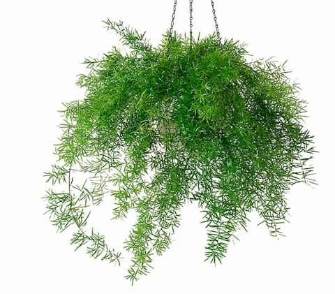 Zierspargel Asparagus Sprengeri Pflanzen Pflanzen Schatten Zimmerpflanzen
