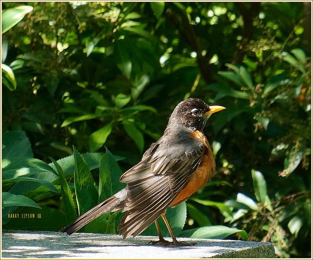 """""""Check out the orange feathers, pal, said the Robin.  It aint no 'red breast.'   """"Facts is Facts, and its orange, Buster"""" - a photo of a bird,  by Harry Lipson III at harryShots.com"""