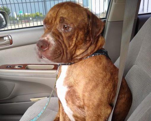 Houston, TX American Bulldog. Meet WINSTON a Pet for