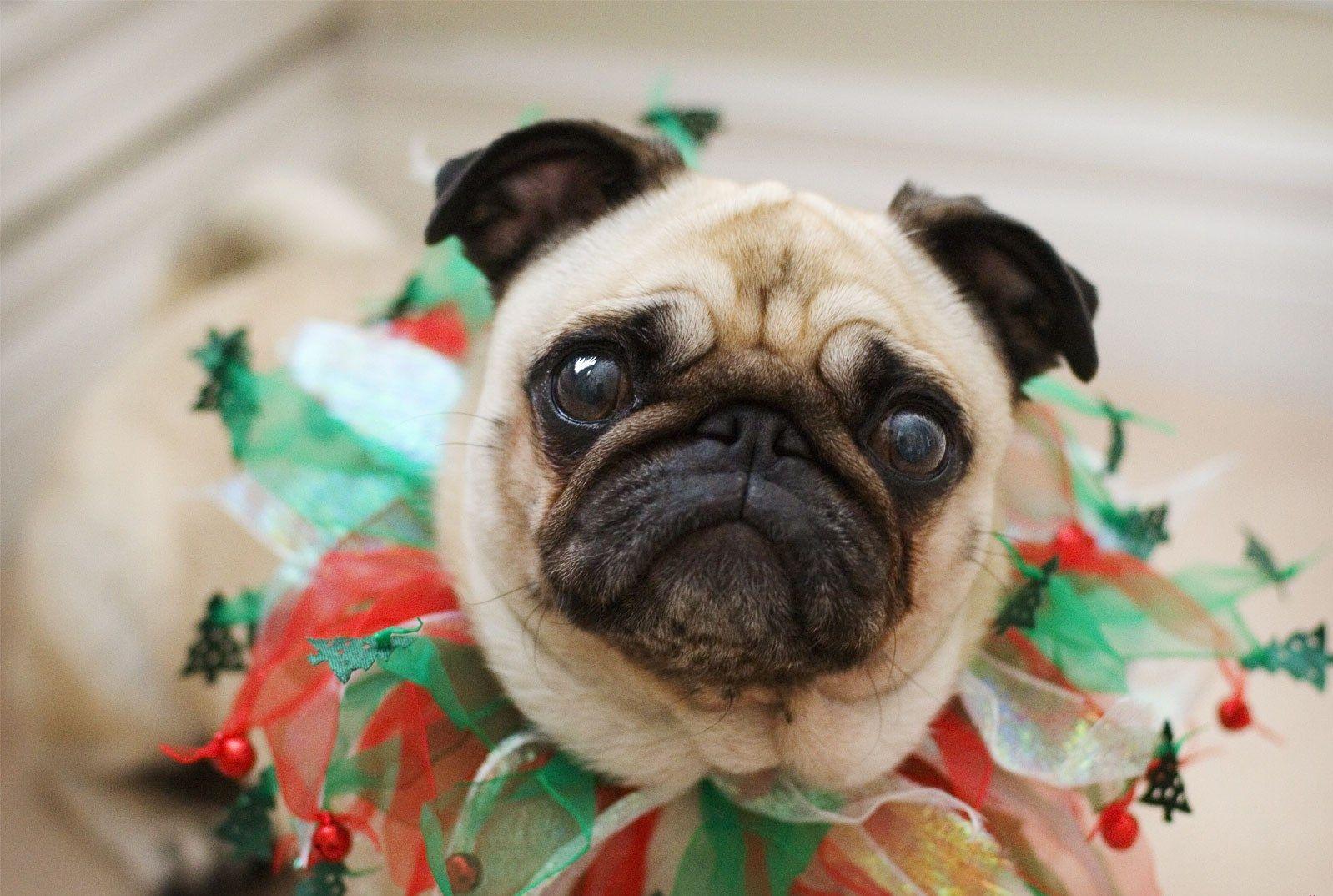 Pug Wallpaper Screensaver Background Pug Wallpaper Pugs Funny Pug Christmas