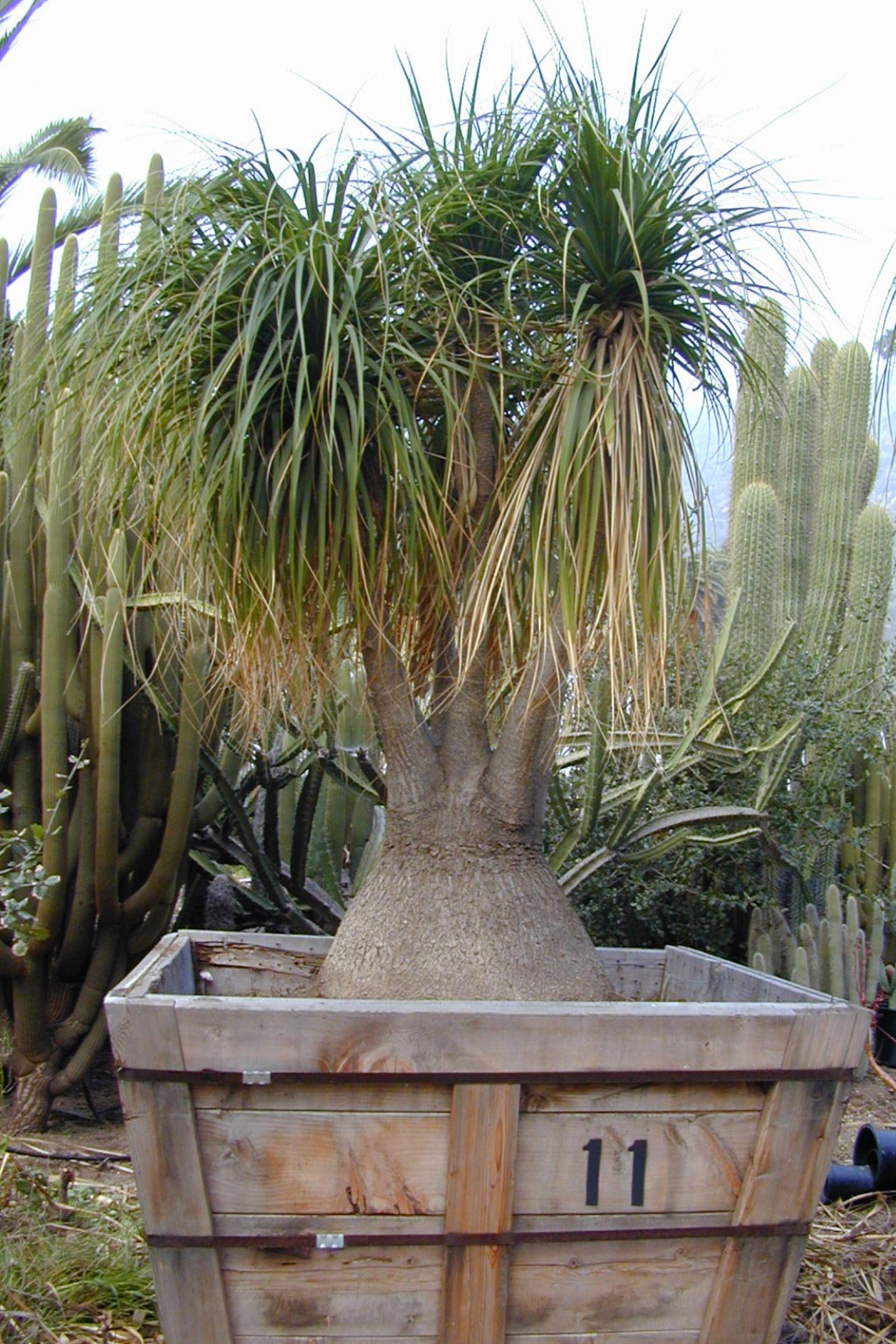 Beaucarnea recurvata aka beaucarnea guatmalensis cacti