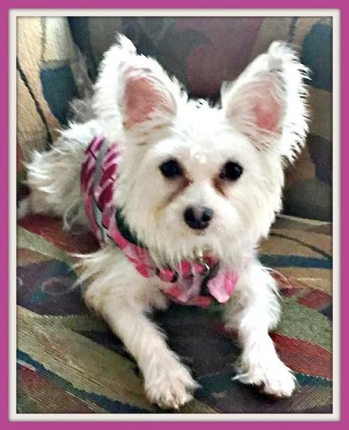 WILLOW Is An Adoptable West Highland White Terrier Westie
