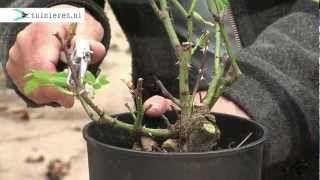 rozen snoeien tuinieren.nl - YouTube