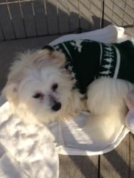 Adopt Powder And Puff On Pets Dogs Maltese