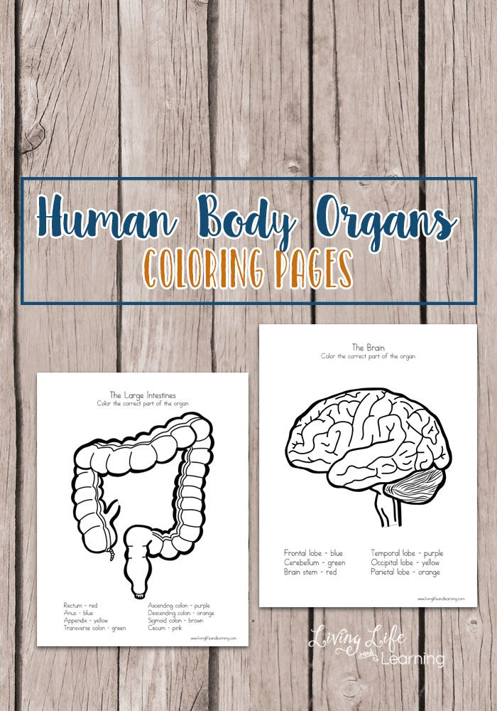 Human Body Organs Coloring Pages for Kids | Montessori, Schule und Ideen