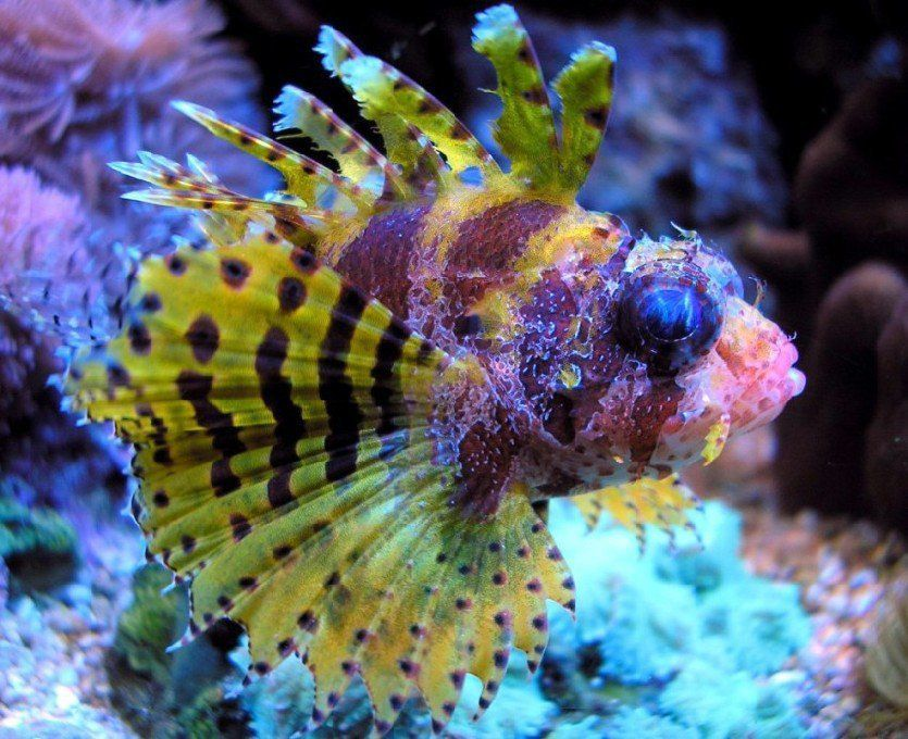 Pic Of My Very Colorful Fuzzy Dwarf Lion Fish Lion Fish Saltwater Fish Tanks Salt Water Fish