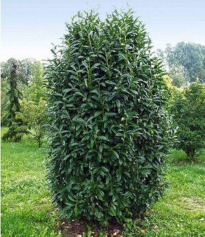 s ulen kirschlorbeer genolia 1 pflanze bonsij garten pflanzen und kirschlorbeer. Black Bedroom Furniture Sets. Home Design Ideas