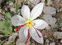 Safranor Safranzwiebeln Com Pflanzen Weisse Blumen Zwiebel