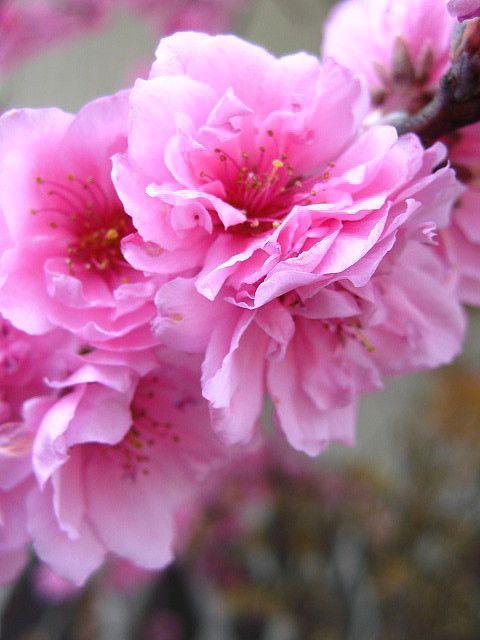 Spring in Japan 'Sakura' - by MauiLuna [Flickr]
