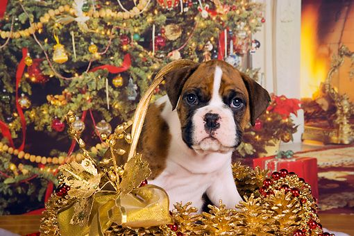 PUP 37 RK0037 01 © Kimball Stock Boxer Puppy Sitting In Christmas Basket Christmas Tree Background Studio