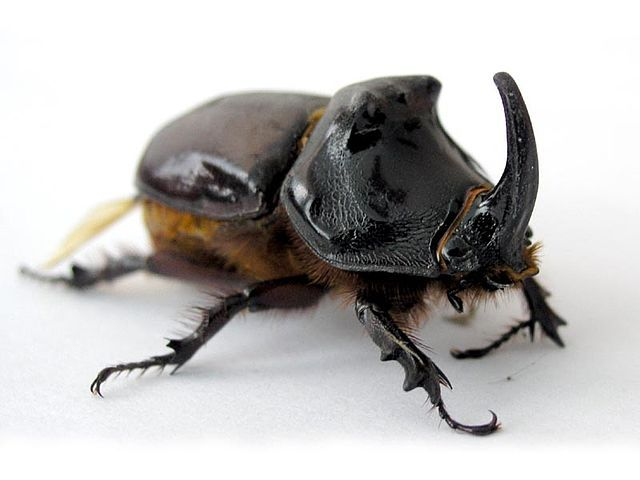 The reference image I chose for the beetle drawing.