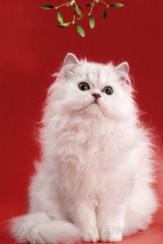 Persian Chinchilla Cat Long-Haired, under Mistletoe Valokuvavedos AllPosters.fi-sivustossa