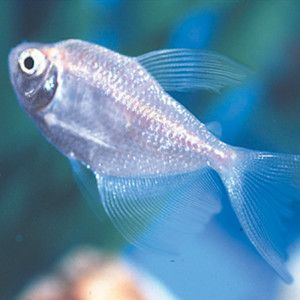 Long Finned Skirt Tetra Live Fish Petsmart Pet Fish Live Fish Fish For Sale