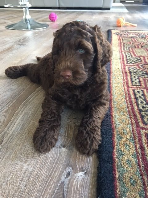 Our Australian Labradoodles Sires And Dams At Labradoodle Australian Labradoodle Australian