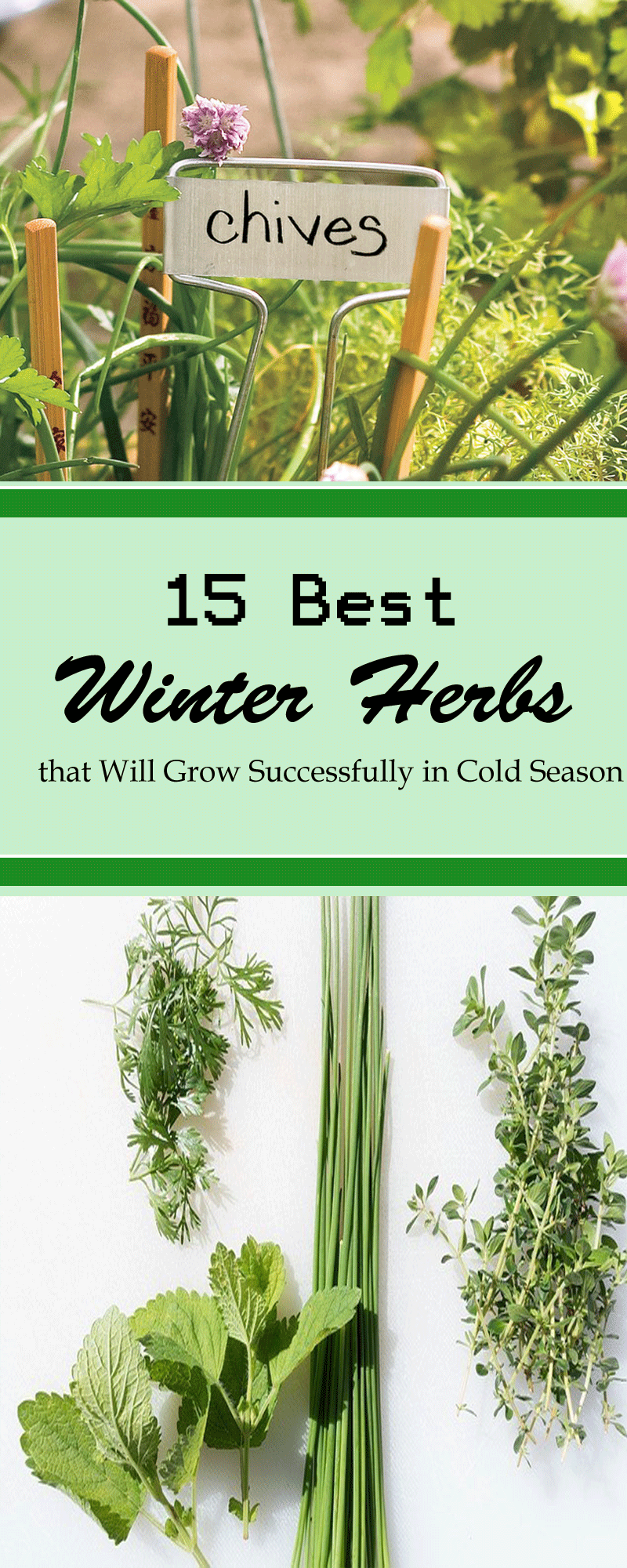 15 best winter herbs that will grow successfully in cold season