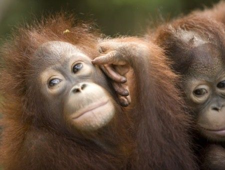 Orang Utan Trails in Borneo. See them up close and personal.
