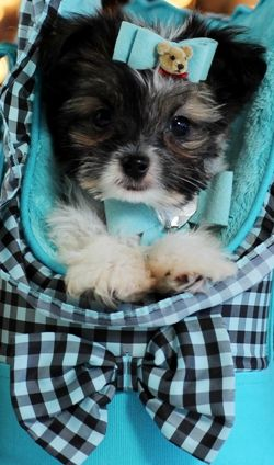 Maltese Chihuahua Mix Denver For Sale Bring Him Home Today