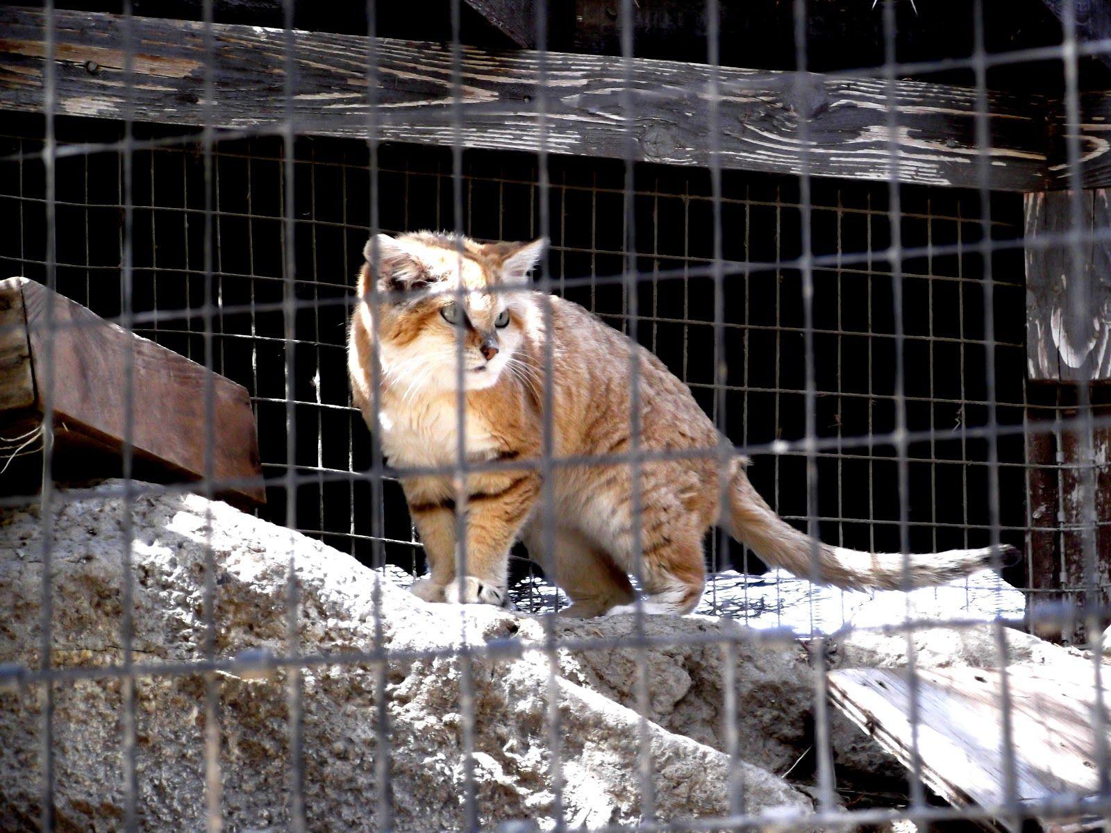 chinese desert cat Small wild cats, Rare cats, Chinese