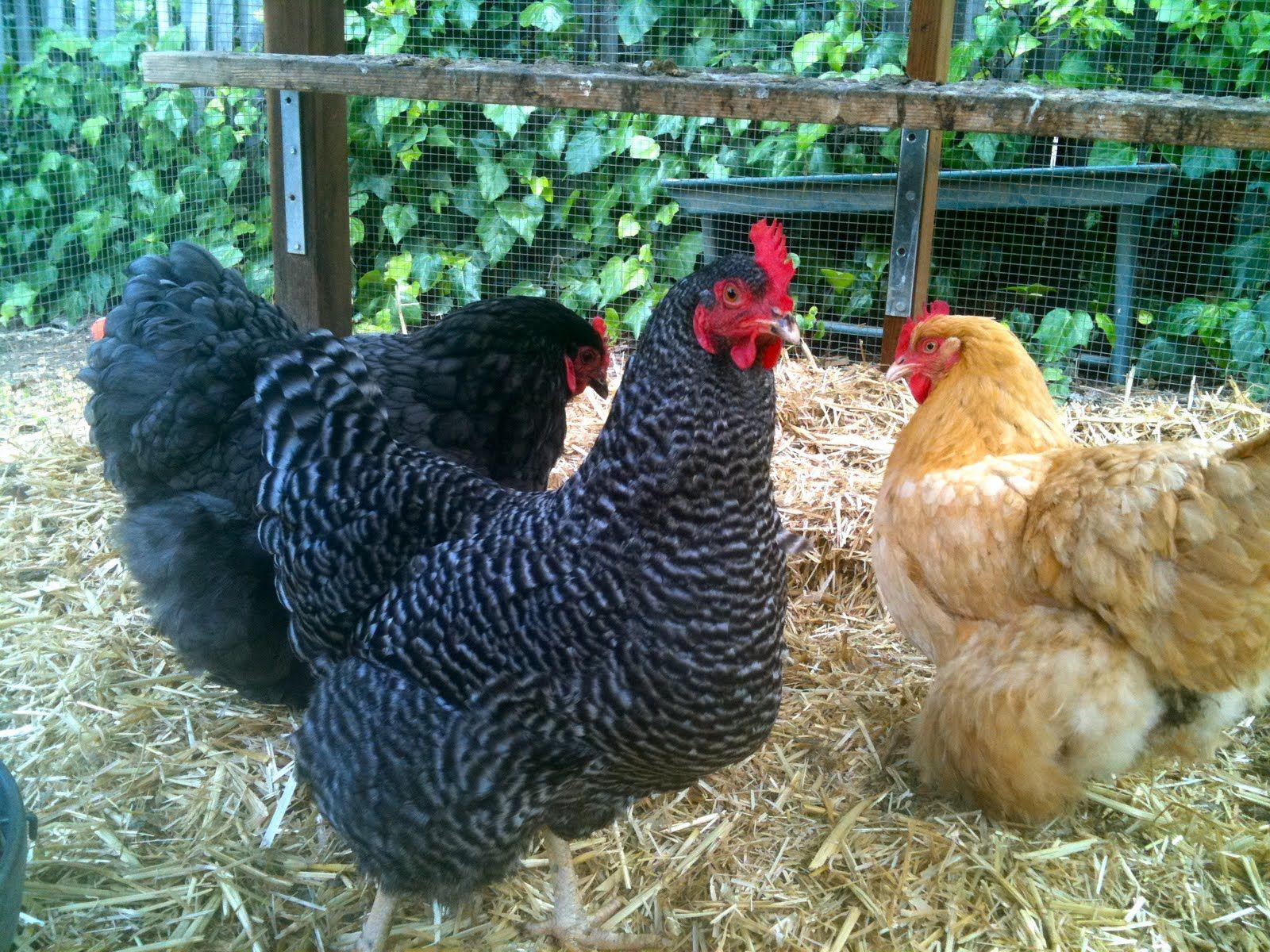 backyard chicken you see keeping backyard chickens isn u0027t cheap
