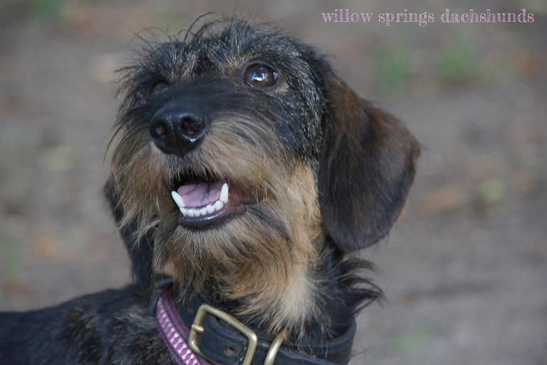 Willow Springs Miniature Wirehaired Dachshunds Wire Haired Dachshund Dachshunds For Sale Dachshund