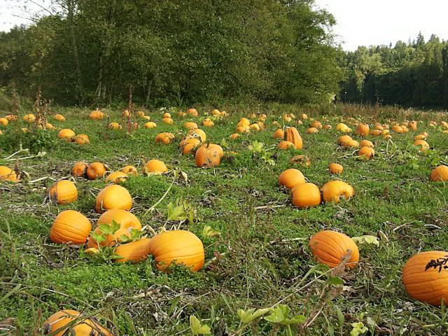how to grow pumpkins successfully pdf download