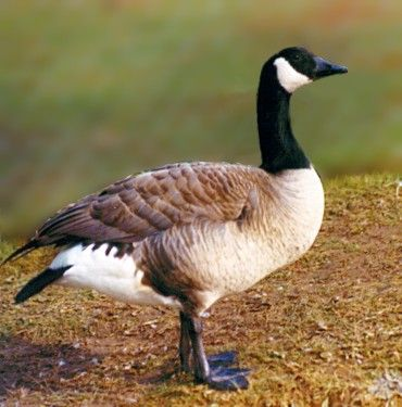 canada goose bird