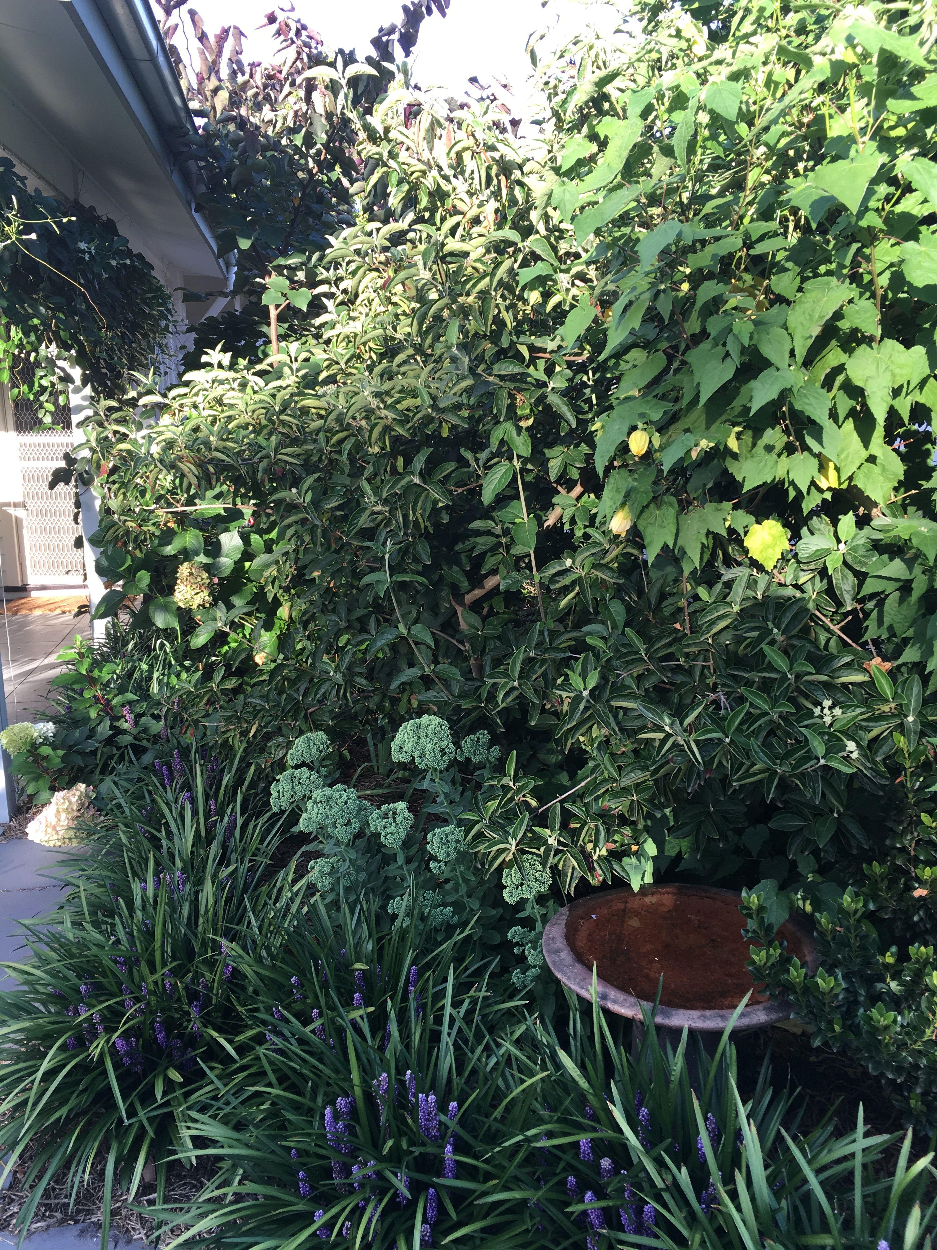abutlion and liriope muscari blackburn front garden pinterest