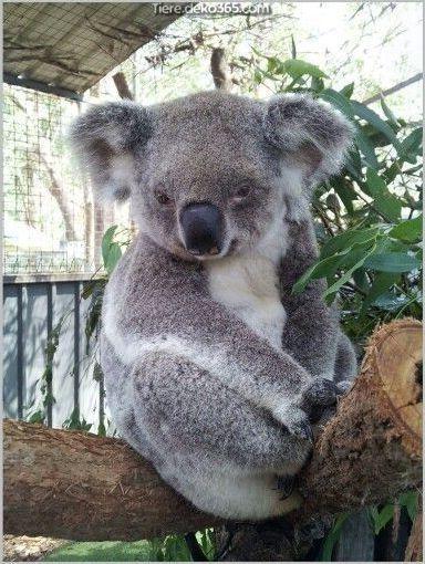 Grossartig Koala Babys Sind So Susslich Koala Cute Baby Animals Koala Bear