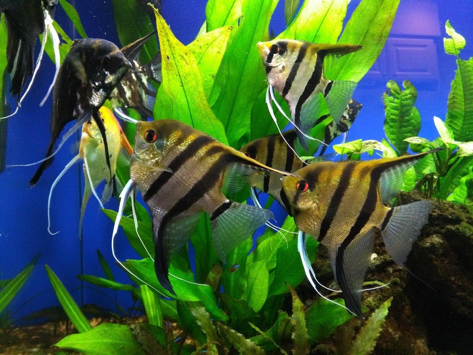 Live Freshwater Angelfish Breeding Pair Angel Fish Fish Pet Fish