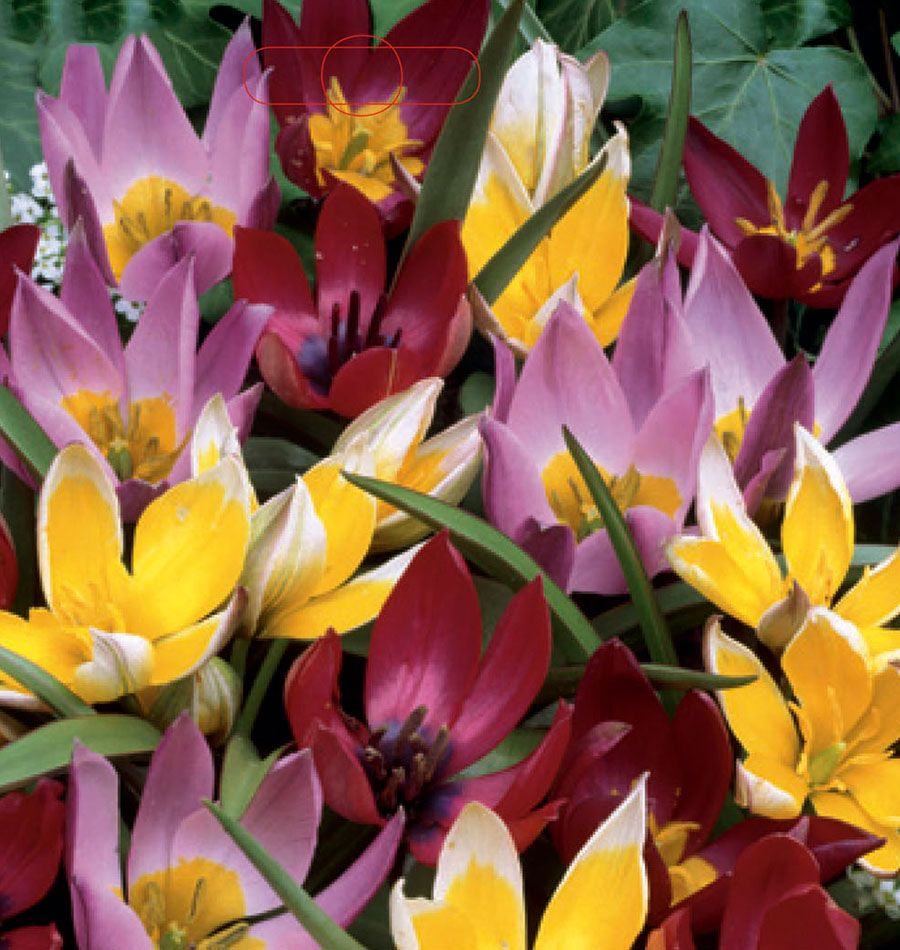 Botanical mix tulips! This is such a unique blend of colours. Plants these 30 bulbs for early to mid-spring blooms. Plant in areas with full sun to partial shade. Great for naturalizing Tulips for fall planting