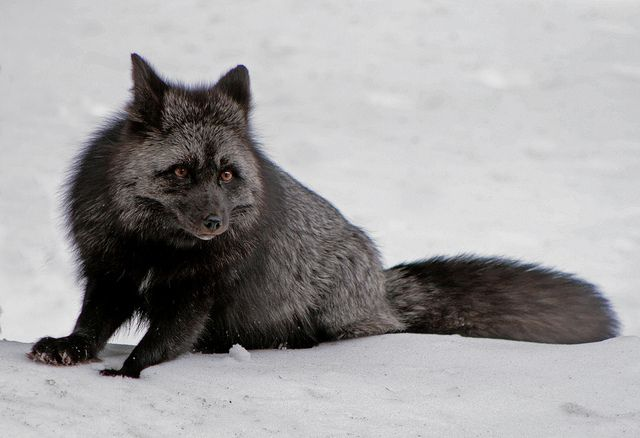 The Silver Fox Is A Melanistic Form Of Red Fox Melanism Is An Undue Development Of Dark Colored Pigment In The Skin An Melanistic Animals Melanism Melanistic
