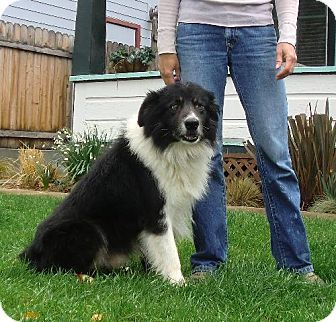 Paso Robles Ca Australian Shepherd Border Collie Mix Meet Buddy A Dog For Adoption Kitten Adoption Dog Adoption Animal Rescue