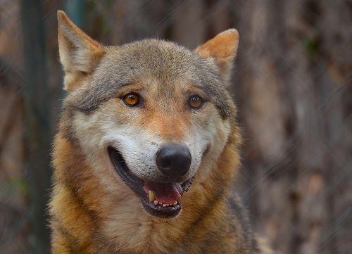 Canis lupus 101: #Wolf of the Day