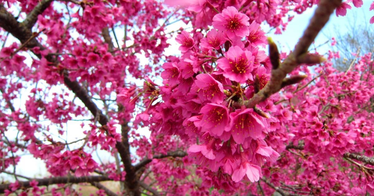 Wallpapervn Com Beautiful Flowers Pictures Cherry Blossom Wallpaper Flower Pictures