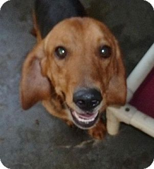Pin By Diane Litter On Adopt Pets Beagle Mix Basset Hound Mix