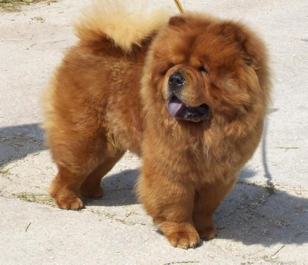 Chow Chow Int Ch Kira Pedigreedatabase Com With Images