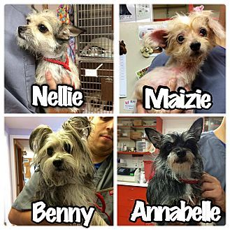 Westport Ct Save Our Strays All 4 Were Dumped On The Street By Their By Their Owner They Are Not Available Yet Dog Adoption Yorkie Yorkshire Terrier Pets