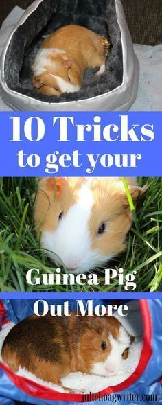 10 Tricks to get your guinea pigs out of their cages more and interacting with family. Family pet fun with your guinea pigs. How to spend more time with your guinea pigs. Small mammal pets for kids and family teach kids compassion, responsibility, kindnes
