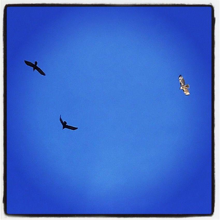 #hawk #crow #bird #birds #flight #freedom #sky #desert #photography #peace #zen #spiritanimal #pigpaint