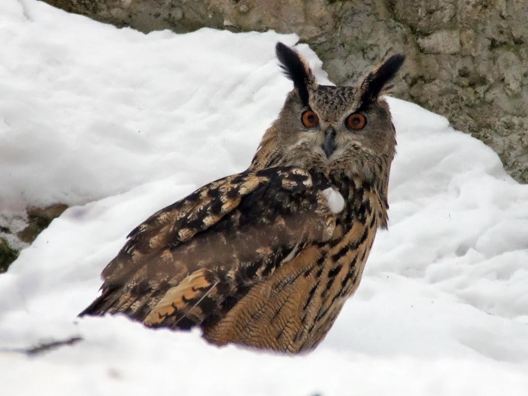 #Owl #Bubo bubo #Big bird