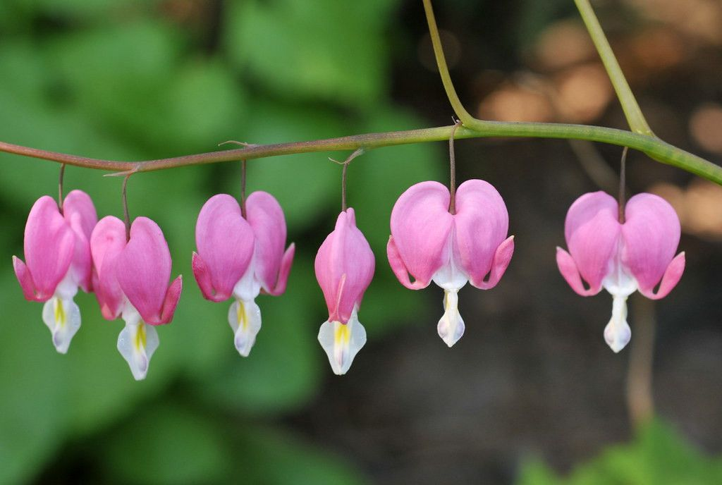 The 5 Secrets You Will Never Know About Bleeding Heart Flower Genus Bleeding Heart Flower G In 2020 Bleeding Heart Flower Bleeding Heart Flower Heart