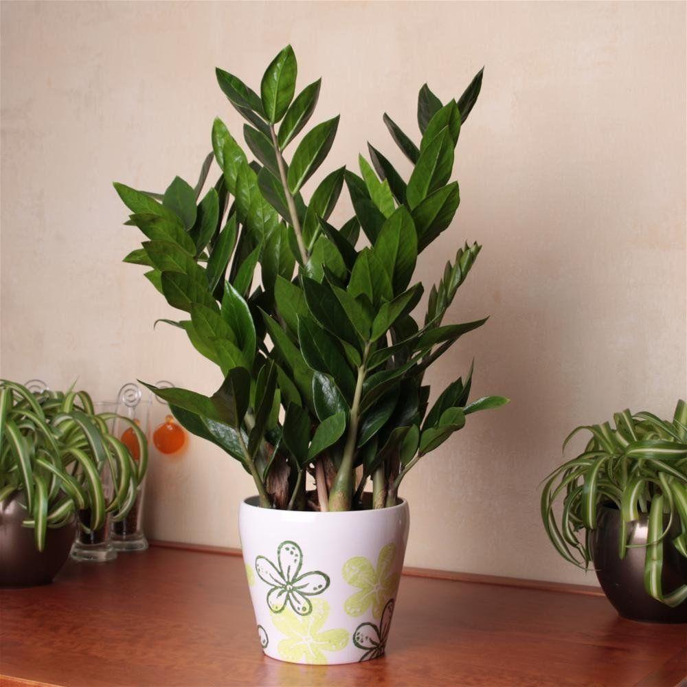 Zamioculcas zamiifolia 1 plant Amazon.co.uk Garden