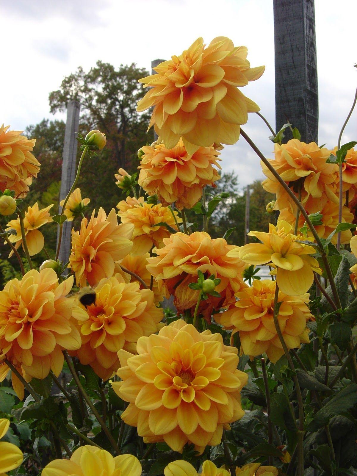 Dahlia \'Gingersnap\'   Colors of Dahlias   Pinterest   Dahlia ...