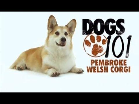 Dogs 101 Pembroke Welsh Corgi Eng Youtube Corgi Pembroke