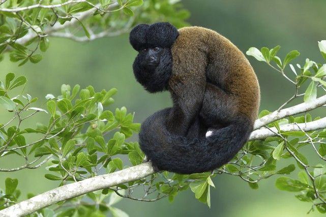 Beardy Monkey: Red-backed-Bearded-Saki.jpg 641×428 Pixel