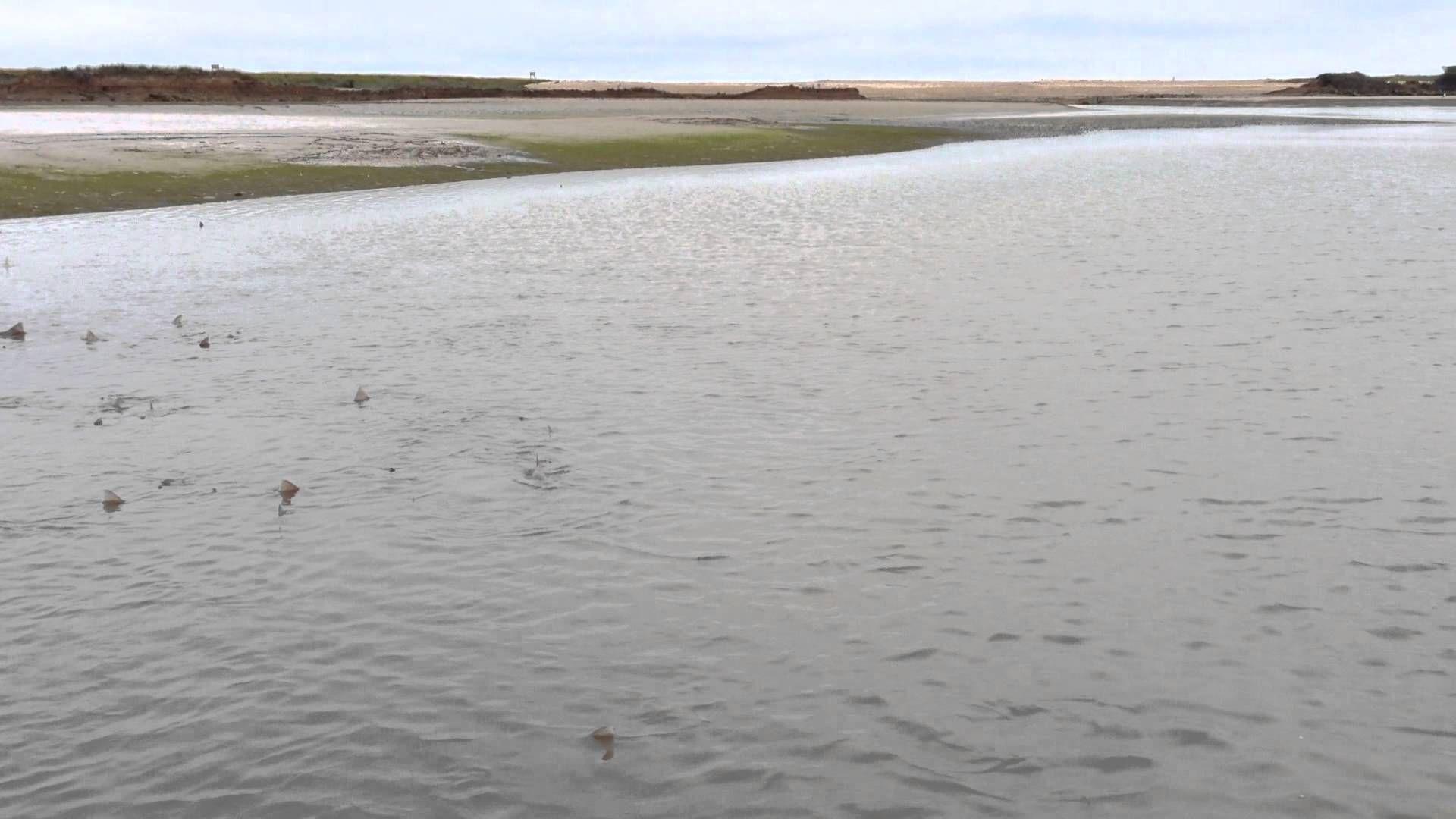 Des requins envahissent par dizaines une plage anglaise